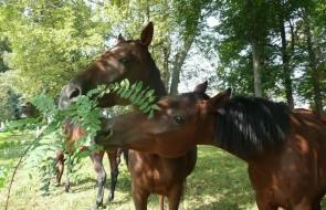 Konie-dwor-trzesniow (1)