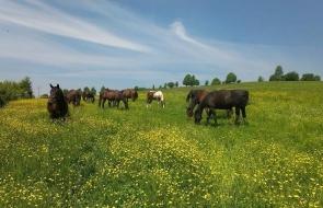 Konie-dwor-trzesniow (10)