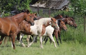 Konie-dwor-trzesniow (17)
