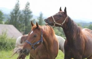 Konie-dwor-trzesniow (2)