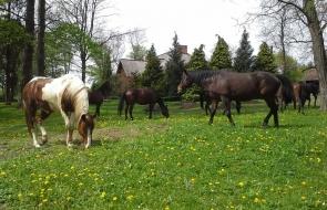 Konie-dwor-trzesniow (4)