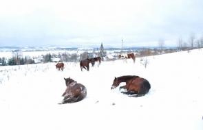 Konie-dwor-trzesniow (8)